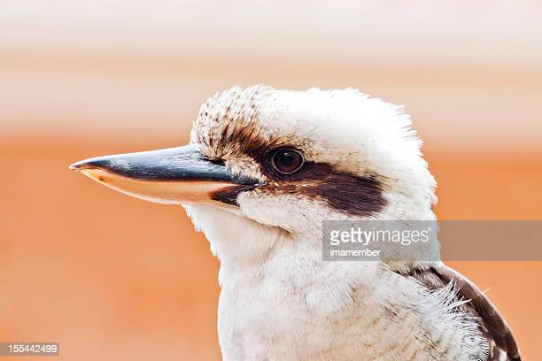 Portrait of Kookaburra against orange background, copy space
