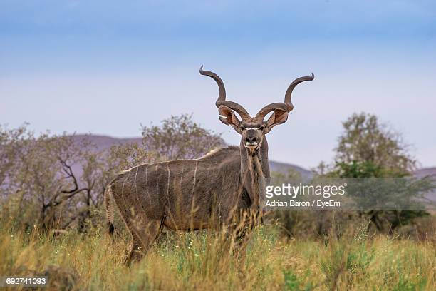 Portrait Of Kudu Standing On Grassy Field Against Clear Sky