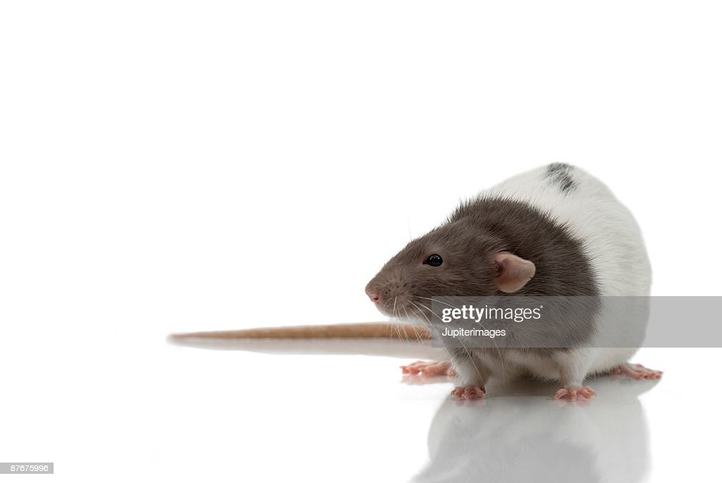 Portrait of laboratory rat on white : Stock Photo