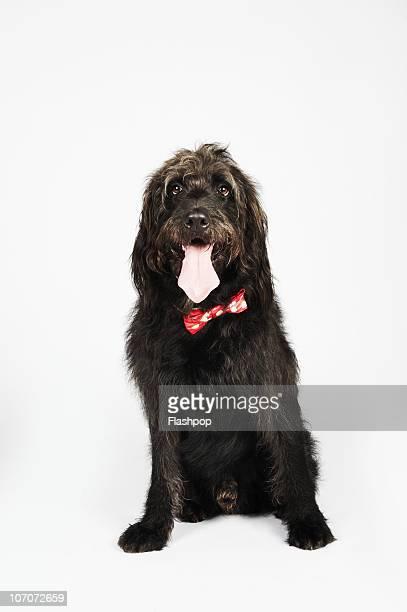 Portrait of Labradoodle dog