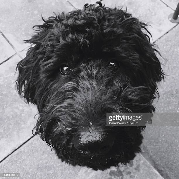portrait of labradoodle on footpath - labradoodle stock photos and pictures