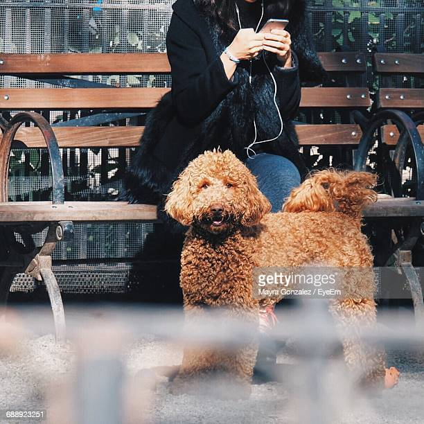 portrait of labradoodle standing by owner sitting on bench - labradoodle stock-fotos und bilder