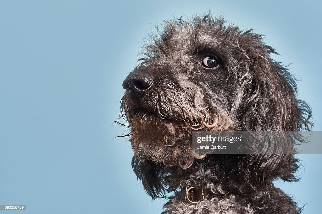 Portrait of Labradoodle with humorous expression : Stock Photo