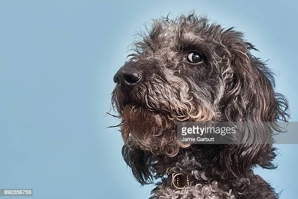 portrait of labradoodle with humorous expression - chien photos et images de collection
