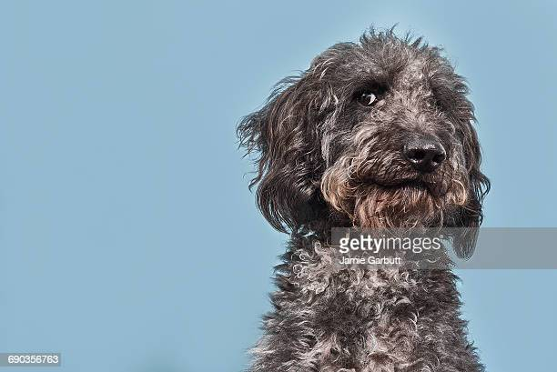 Portrait of Labradoodle with humorous expression