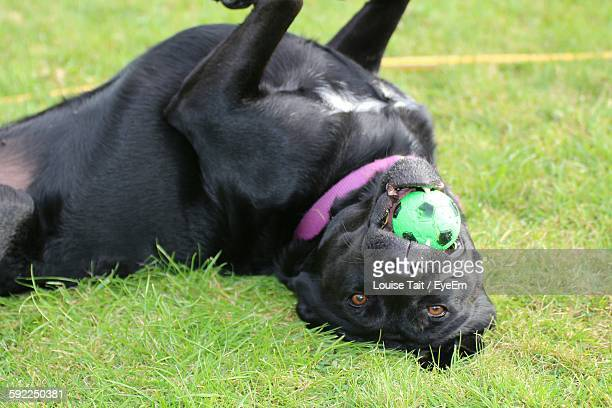 Portrait Of Labrador Retriever Carrying Ball In Mouth On Grassy Field