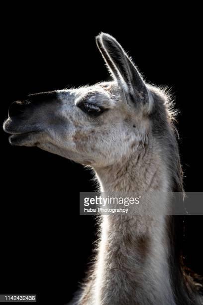 portrait of lama - llama animal fotografías e imágenes de stock
