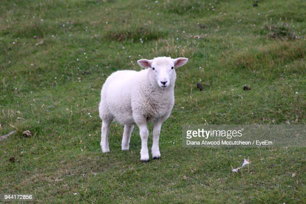 portrait of lamb standing on grassy field - herbivorous stock pictures, royalty-free photos & images