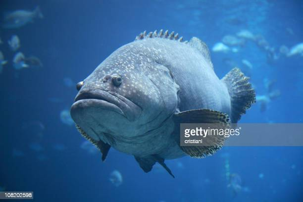 Portrait of Large, Fat Grouper Fish in Aquarium