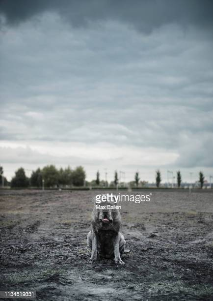 portrait of large grey dog sitting on wasteland - guard dog stock photos and pictures