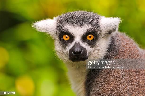 portrait of lemur - civet cat stock photos and pictures