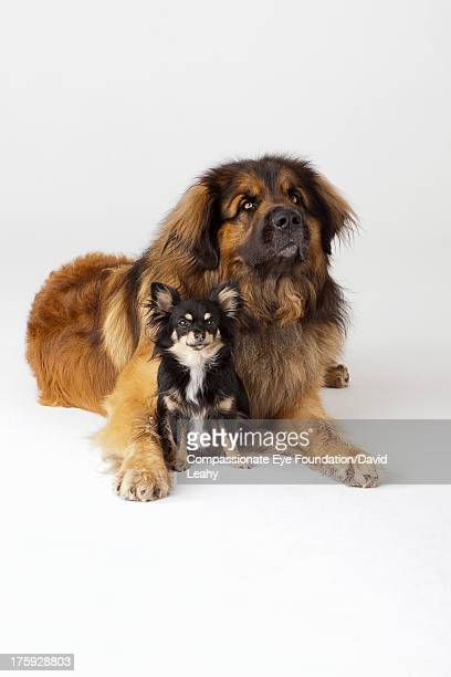 Portrait of Leonberger and Chihuahua