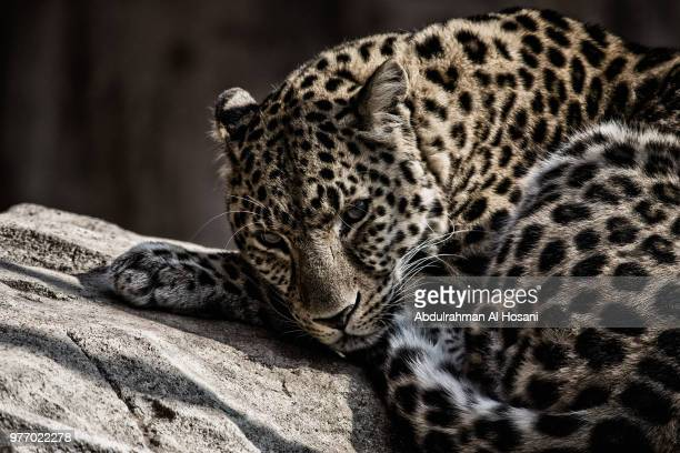 portrait of leopard resting - leopard stock photos and pictures