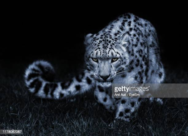 portrait of leopard sitting on grass at night - dark panthera stock pictures, royalty-free photos & images