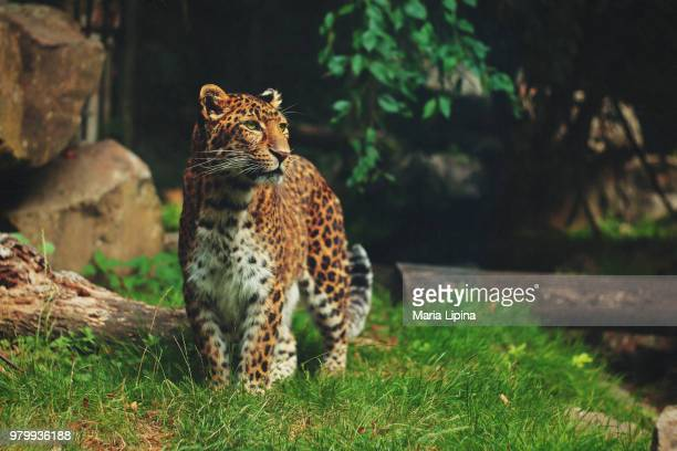 portrait of leopard (panthera pardus) standing in grass, thoiry, yvelines, france - yvelines stock pictures, royalty-free photos & images