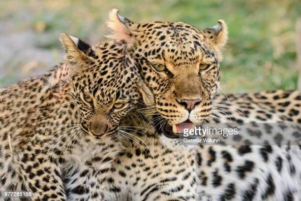 Portrait of leopard with leopard cub, Botswana
