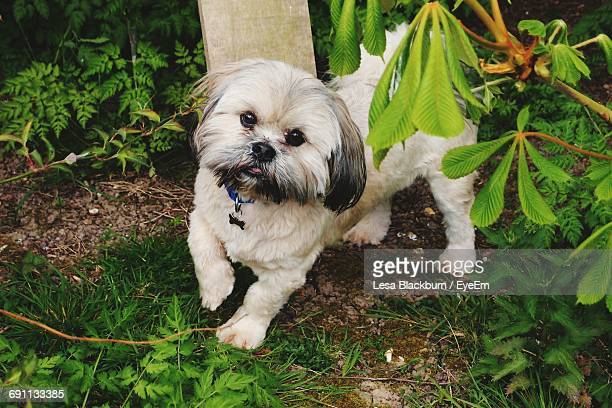 portrait of lhasa apso at back yard - lhasa apso stock photos and pictures