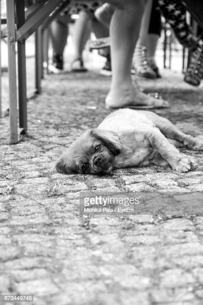 portrait of lhasa apso lying on footpath - lhasa apso stock photos and pictures