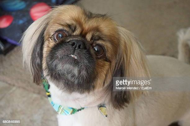 portrait of lhasa apso - lhasa apso stock photos and pictures