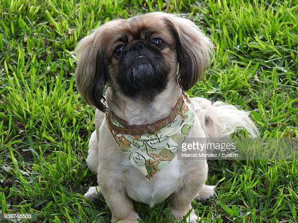 portrait of lhasa apso sitting on grassy field - lhasa apso stock photos and pictures
