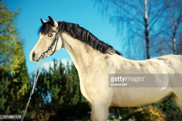 portrait of light-buckskin welsh pony