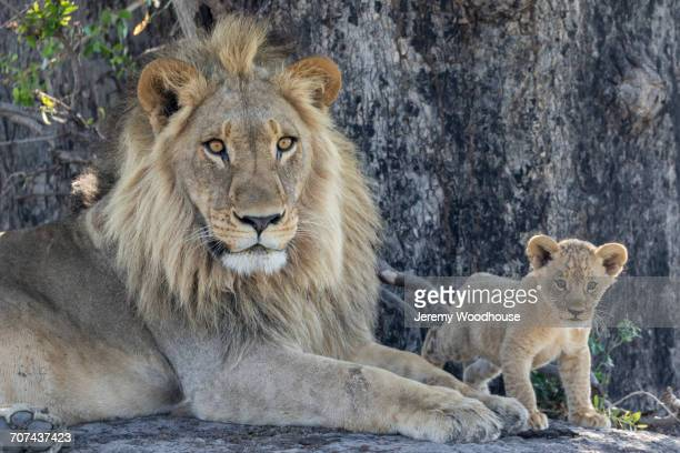 Portrait of lion and cub