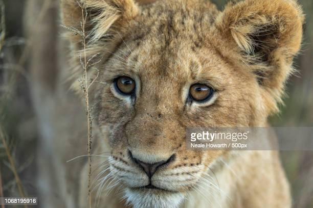 portrait of lion cub - lion cub stock-fotos und bilder