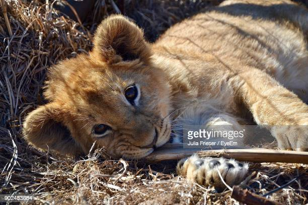 portrait of lion cub relaxing outdoors - lion cub stock photos and pictures