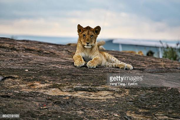 Portrait Of Lion Cub Resting On Rock At Masai Mara National Reserve
