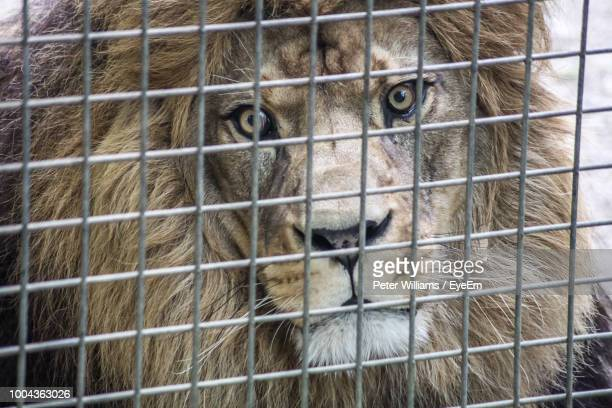 Portrait Of Lion In Cage At Zoo