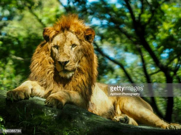 Lions Wallpaper Stock Photos And Pictures