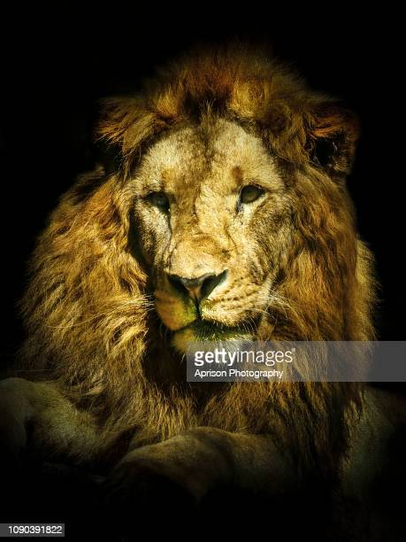 Black Lion Wallpaper Stock Photos And Pictures