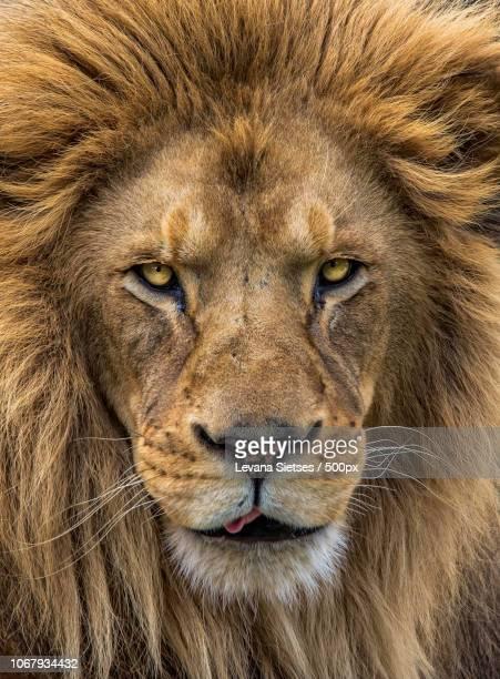 portrait of lion - löwe stock-fotos und bilder