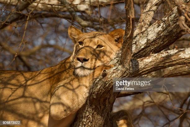 portrait of lion (panthera leo), relaxing in tree, tarangire national park, tanzania, africa - tarangire national park stock pictures, royalty-free photos & images