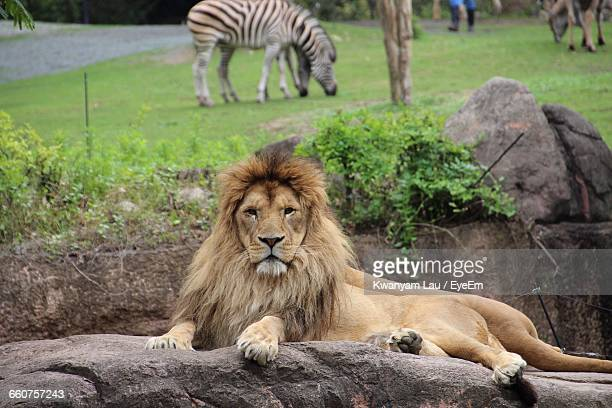 portrait of lion resting on rock against grazing zebras in zoo - zoo stock pictures, royalty-free photos & images