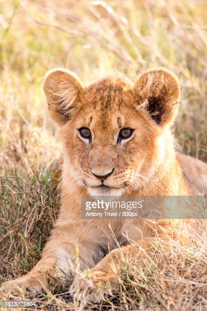 portrait of lion sitting on field,maasai mara national reserve,kenya - animals in the wild stock pictures, royalty-free photos & images
