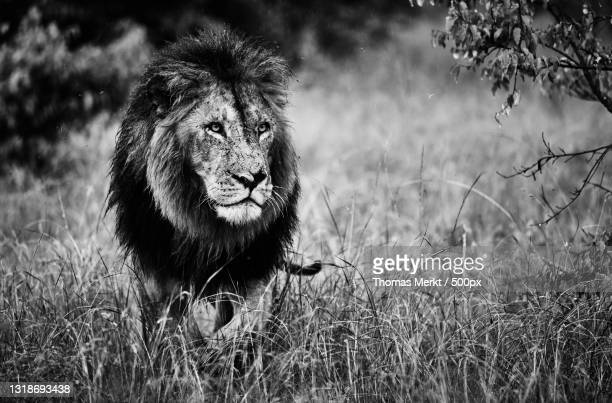 portrait of lion standing on grassy field - afrika afrika stock pictures, royalty-free photos & images