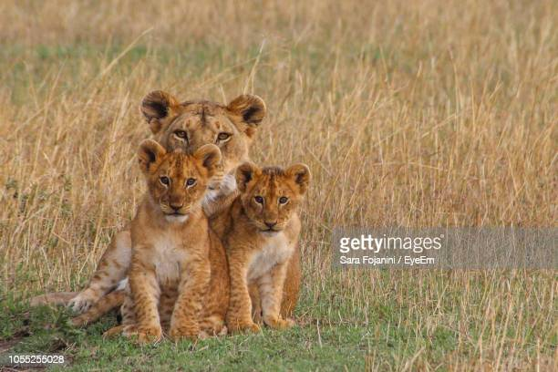 portrait of lioness and cubs sitting on field - lion cub stock photos and pictures