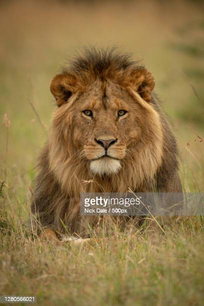portrait of lion,ololosokwan,tanzania - male animal stock pictures, royalty-free photos & images