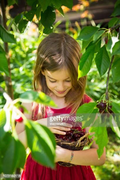 portrait of little girl with basket full of cherries - kirsche stock-fotos und bilder