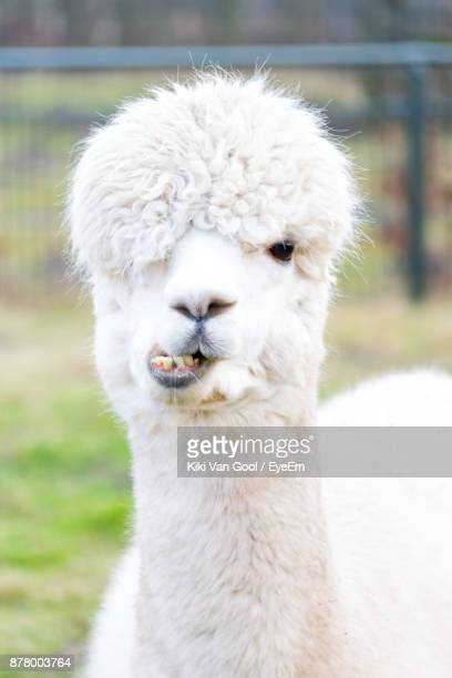 portrait of llama on field - lama stock pictures, royalty-free photos & images