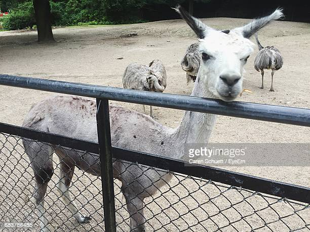 portrait of llama with emus in farm - emu farming stock pictures, royalty-free photos & images