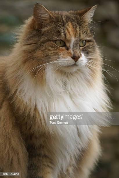 Portrait of long hair female cat