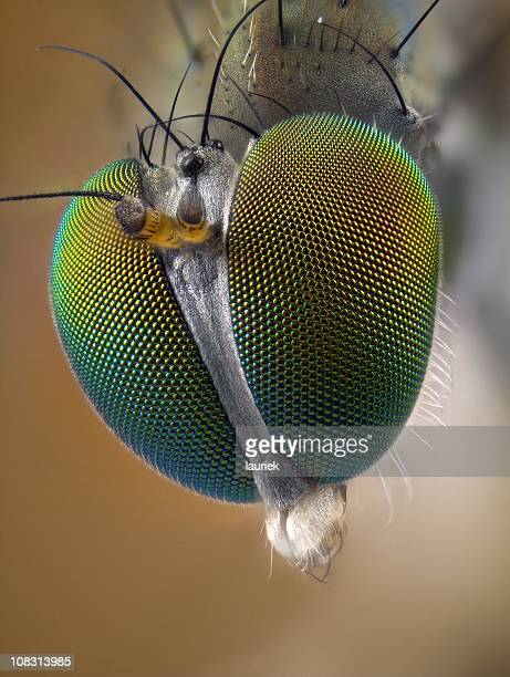 portrait of long legged fly (dolichopodidae) - bug eyes stock photos and pictures