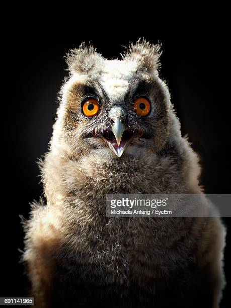 portrait of long-eared owl against black background - anfang stock pictures, royalty-free photos & images