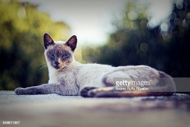 portrait of lying cat - andres ruffo stock-fotos und bilder