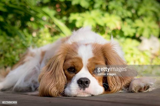 portrait of lying dog - cavalier king charles spaniel stock pictures, royalty-free photos & images