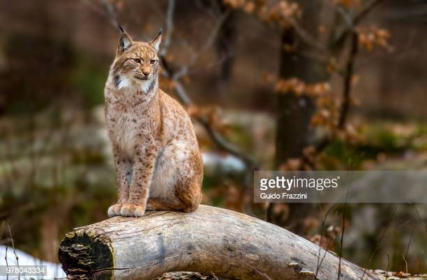 portrait of lynx sitting on log - lynx photos et images de collection
