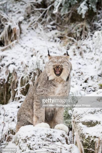Portrait of lynx (Lynx canadensis) sitting on snow and yawning, Haines, Alaska, USA