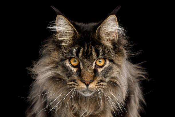 34 Main Coon Katzen Bilder Besten Bilder Von Ausmalbilder